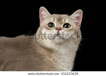 Closeup head of Curious British Cat with green eyes Looking up isolated on Black Background  - stock photo