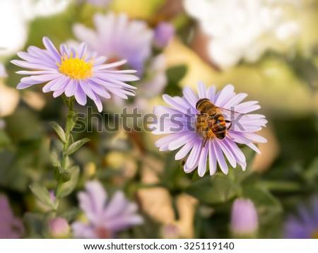 closeup honey bee on blue New York aster (botanical name: Aster novi-belgii or Symphyotrichum novi-belgii) - stock photo
