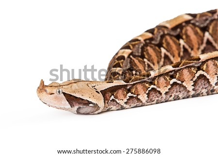 Closeup image of a Bitis gabonica, known as a Gaboon Viper Snake which is commonly found in Africa - stock photo