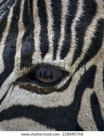 Closeup image of a zebra eye. - stock photo