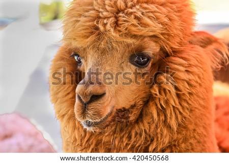 Closeup image of Brown Alpaca head in the farm - stock photo