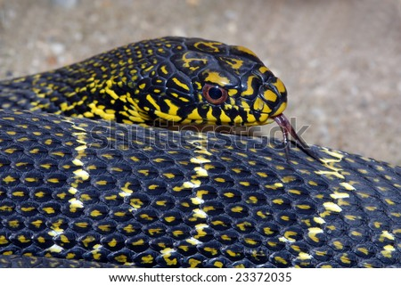Closeup image of bull snake with tongue out - stock photo