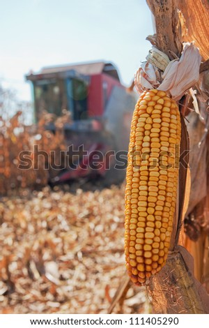 Closeup image of corn, harvesting machinery working in corn field - stock photo