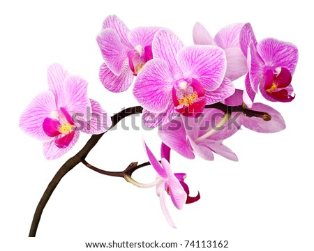 closeup image of purple orchid flower on white background - stock photo