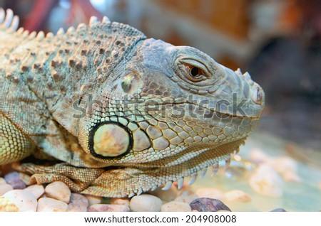 closeup image of the big green iguana - stock photo