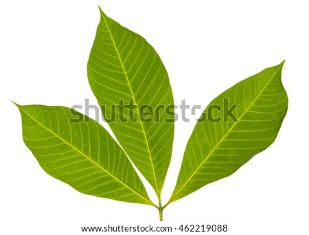 Closeup image of three leaves back side with isolated white background