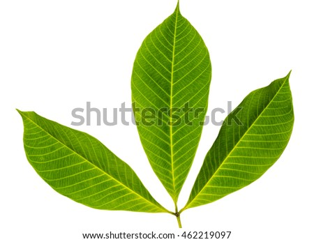 Closeup image of three leaves with isolated white background