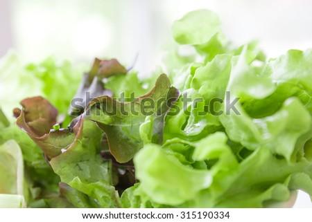 Closeup isolate fresh lettuces - stock photo