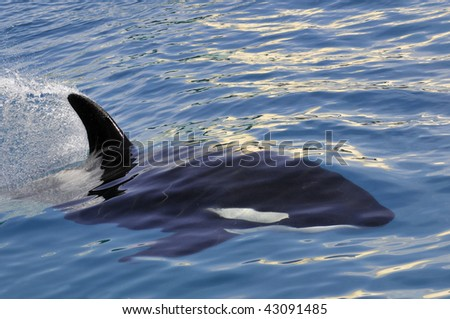 Closeup killer whale (Orcinus orca) swimming fast in blue water