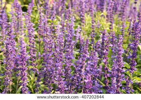 Closeup lavender flowers field - stock photo