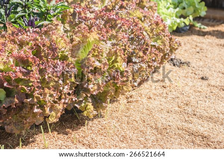 Closeup leaf of red lettuce in plots covered with chaff. Shallow depth of field. Abstract background.