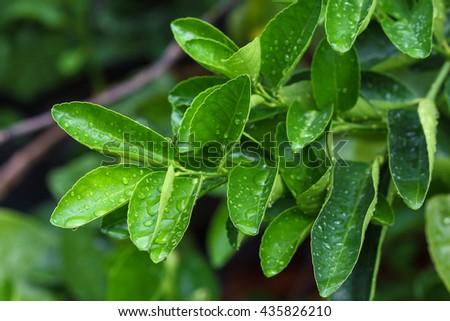 Closeup lemon tree with water drops. - stock photo
