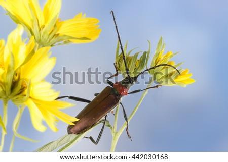 Closeup Longhorn beetle (Aromia moschata) on yellow flower against blue sky - stock photo