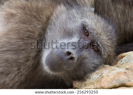 Closeup look at a chacma baboon, Cape Town, South Africa - stock photo