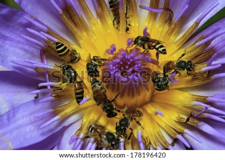Closeup lotus bee swarm - stock photo
