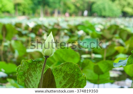 Closeup Lotus bud is blooming in the lake. Lotus flower in the farm at daytime. - stock photo