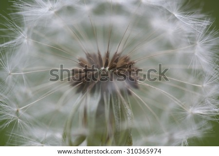 Closeup macro of a blowball flower in spring - stock photo