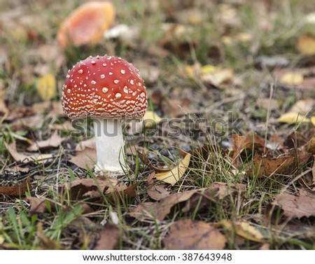 Closeup, macro of a fly agaric, amanita on the ground. Red fungus among leaves. - stock photo