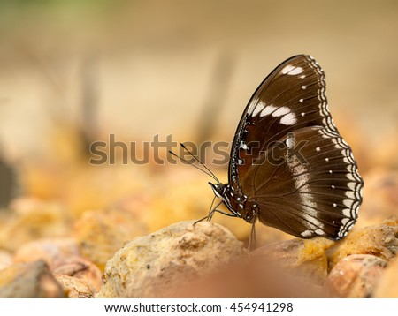 Closeup macro of butterfly eating food in jungle the beauty of nature. (selective focus) - stock photo