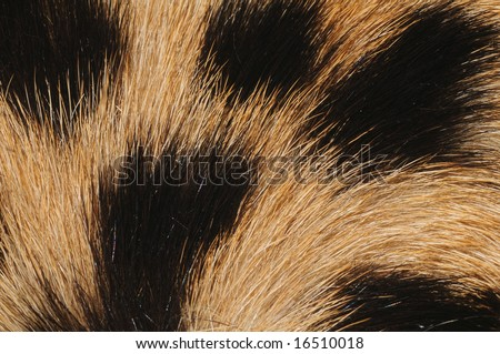 closeup (macro) of cheetah fur with hair pattern radiating from bottom left - stock photo