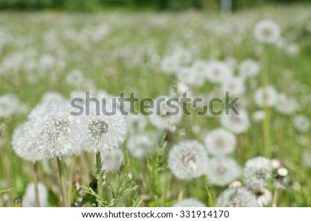 Closeup, macro of  fluffy dandelion, Taraxacum. Part of a meadow in June, more dandelions in the background. - stock photo