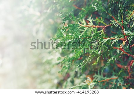 Closeup macro of white red cedar, arborvitae green leaf branches. Toned with filter, lens flare from sun, copyspace for text - stock photo