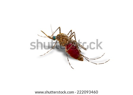 closeup macro photo a mosquito isolated on white background with clipping path - stock photo