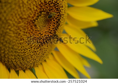 closeup macro shot of bee collecting pollen in a sunflower - stock photo