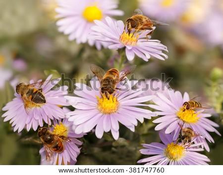 closeup many  Honey bees drinking nectar from the purple flower / closeup many  Honey bees on blue New York aster (botanical name: Aster novi-belgii or Symphyotrichum novi-belgii) - stock photo