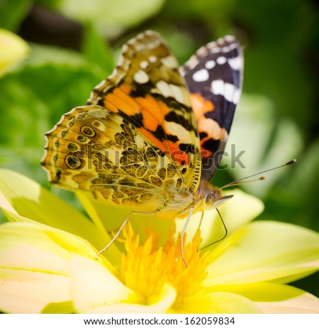 Closeup Monarch Butterfly feeding on yellow Cosmos Flower. Selective focus and shallow depth of field.  - stock photo