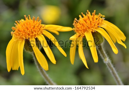 Closeup mountain arnica flower (Arnica montana) on blue sky background - stock photo