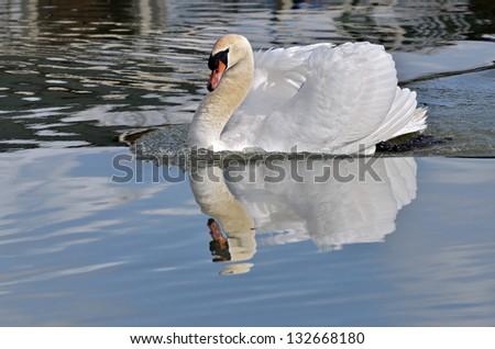 Closeup mute swan (Cygnus olor) swimming on water - stock photo
