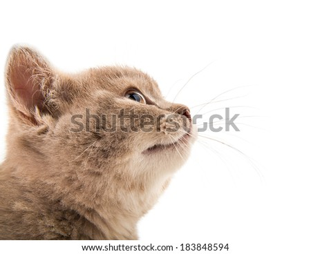 closeup  muzzle the beautiful brown little  kitten sideview, on white  background , isolated - stock photo