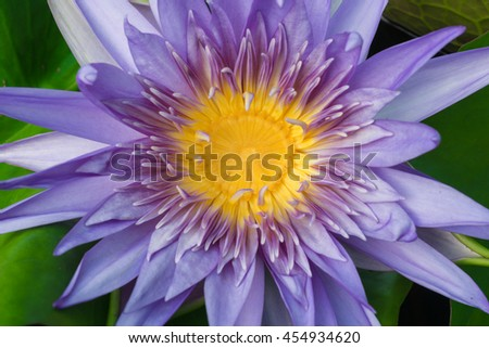 Closeup natural view of blue lotus with copy space using as nature background or wallpaper.