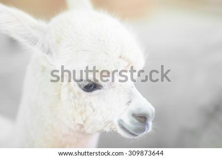 Closeup of a baby Alpaca - stock photo