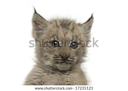 Closeup of a baby canadian lynx isolated on a white background