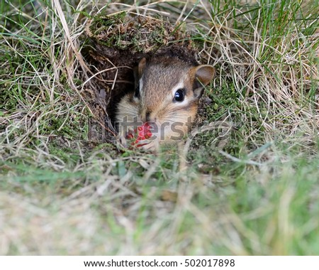 Closeup of a baby chipmunk eating a strawberry while in the burrow opening