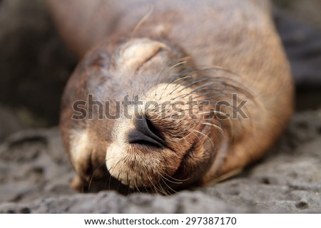 closeup of a Baby sea lion sleeping in the Galapagos Islands - stock photo
