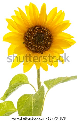 Closeup of a backlit vivid sunflower over a white background - stock photo