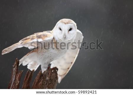 Barn Owl Taking Off mlorenz's P...