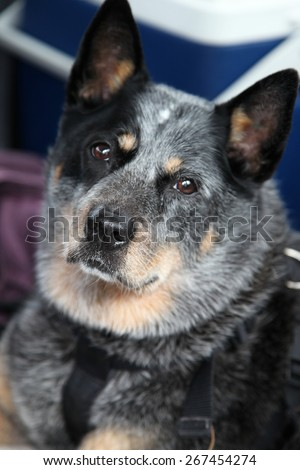 closeup of a beautiful blue heeler dog, Australian cattle dog - stock photo