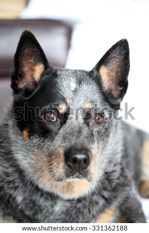 closeup of a beautiful blue heeler dog, Australian cattle dog
