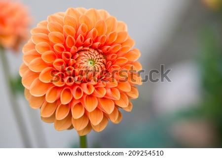 Closeup of a Beautiful Dahlia Flower - stock photo