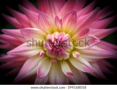 Closeup of a beautiful dahlia flower in pastel pink tones on dark background - stock photo