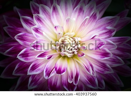 Closeup of a Beautiful Dahlia Flower in Purple Pink and White Colors - stock photo