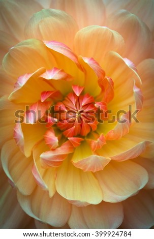 Closeup of a beautiful dahlia flower in yellow orange tones - stock photo