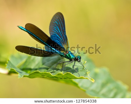 Closeup of a Beautiful Demoiselle Dragonfly (Calopteryx virgo) Male on a Leaf
