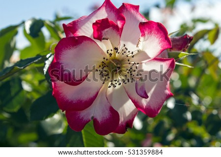 Closeup of a beautiful flower rose in Balboa Park,California.