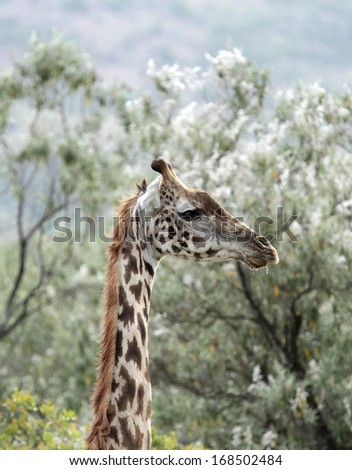 Closeup of a beautiful Giraffe - stock photo