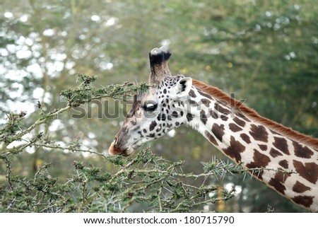 Closeup of a beautiful Giraffes eating acacia bush - stock photo